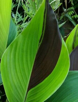 Canna Cleopatra rooted 1ltr plant summer tropical hardy rare VIRUS-FREE