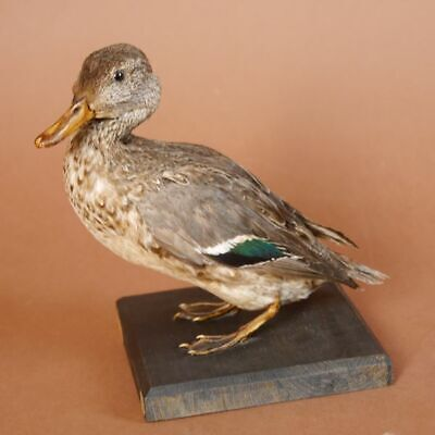Verde – Winged Teal Hembra Pato Preparado en Raíz Trofeo Decoración Taxidermy