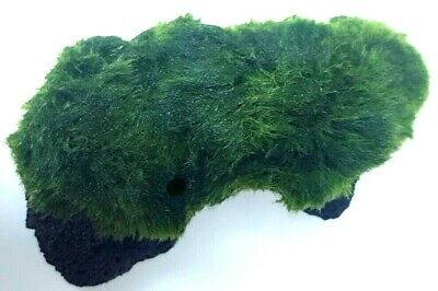 Marimo Moss Ball Growing On Lava Rock Live Aquarium Plants Java Shrimp Aquatic