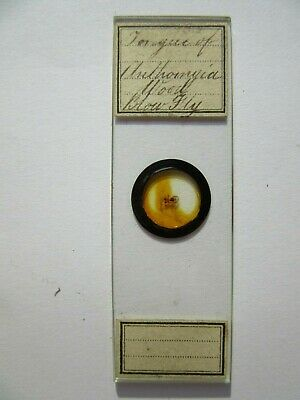 1800's Antique Scientific Glass Slide Blow Fly Tongue Original fc69