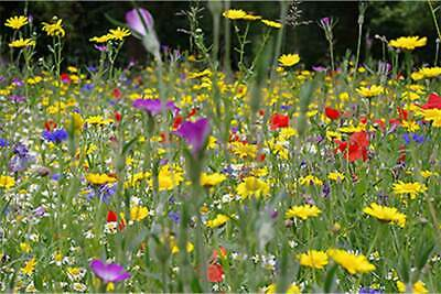 Wild Native Flowers Meadow Scented for BEE & BUTTERFLY Perennial Plant Mix Seeds