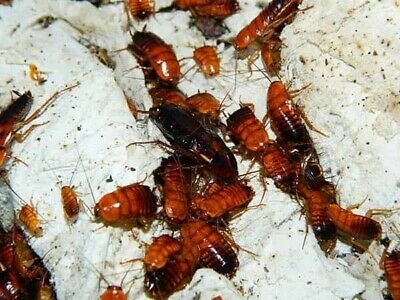 40  Red Runner Roaches MIXED NYMPHS alternative - Cricket substitute