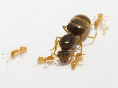 Lasius Flavus (queen, 1-12 workers and eggs) CHEAP
