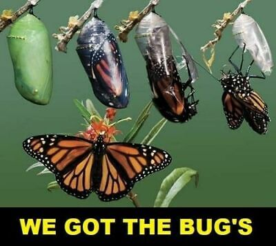 ✅4 REAL Nice  Live Monarch Butterfly Chrysalis  HELP SAVE THE MONARCH BUTTERFLY✅