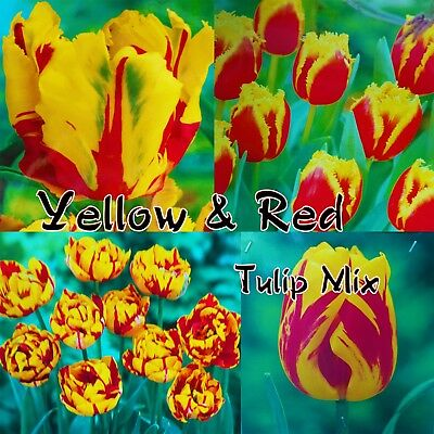 Yellow & Red Mixed Tulip Bulbs Plant Now Spring Garden Flowering Tulips