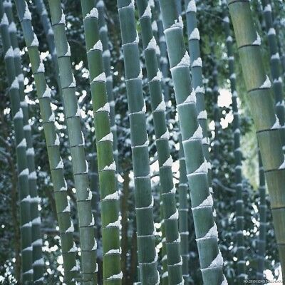 20g  graines Phyllostachys pubescens Moso Bambou,bambou géant,moso bamboo seed