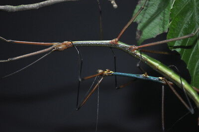 """Lopaphus sp. """"Cuc Phuong"""" stick insect 20+ eggs"""