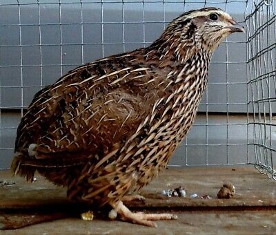 Jambo quail hatching eggs