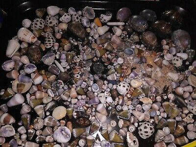 SUPER NICE HAWAII CONES COWRIES DRUPES ALL KIND shells and stuff mix sizes LQQK