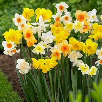 """2 /""""Decoy Daffodils/"""" Beautiful Red Blooms Bulbs for Spectacular Flower"""