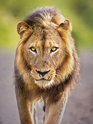 Animal Poster THE MALE AFRICAN LION 3366 Photo Poster Print Art * All Sizes