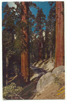 The Sentinels Generals Highway Sequoia National Park Big Trees c1956 Postcard