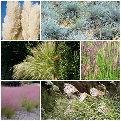 Ornamental Grass Seed Collection - 6 Packets. Save over 20% on normal prices!