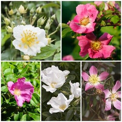 Wild Rose Seed Collection - 5 Packets.Save over 20% on normal prices! Great Gift