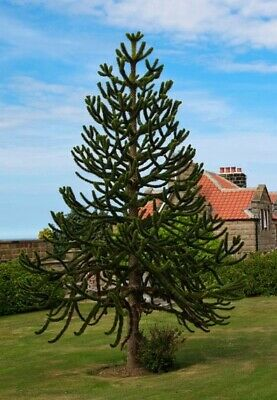 Araucaria araucana (Monkey Puzzle Tree) - 5 seeds. Very easy to grow unique tree
