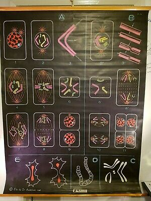 Anatomical Poster Chart - Cell Division