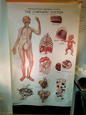 Anatomical Poster Chart -  The Lymphatic System NYSTROM FROHSE