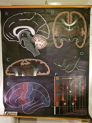 Anatomical Poster Chart - The Brain