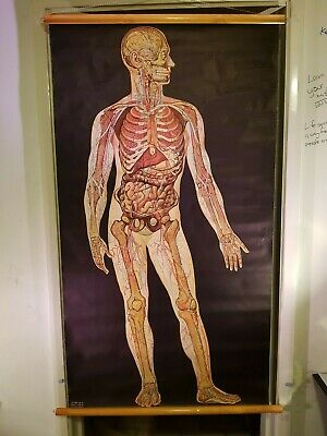 Anatomical Poster Chart - Anterior Aspect of Man 1944