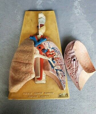 Rare Antique Denoyer Geppert Anatomical Human Lungs Medical Teaching Display