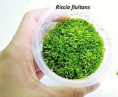 Riccia Fluitans In Vitro Grow Live Aquarium Plant Aquatic Plants Shrimps Moss UK