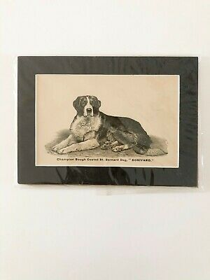 DOG St. Bernard, Champion Rough Coated St. Bernard Dog Vintage Matted Print