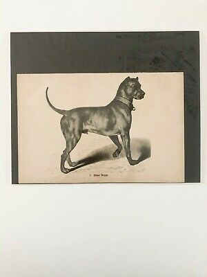 "DOG Ulmer Dogge vintage print 8 3/4"" x 6"" looks similar to pit bull"