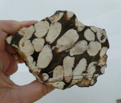 Polished peanut wood fossil mineral specimen collection lapidary HL130