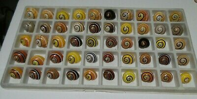 Polymita ] Beautiful Land Snail Lot Of 50 ( Collectable Shells