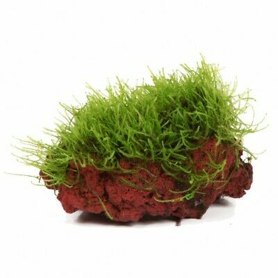 L Java Moss Growing on Lava Rock Live Aquatic Plants Fern Shrimp Aquarium UK