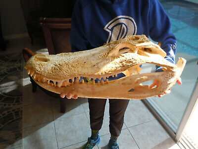 24 inches 2 feet Alligator Skull Florida Gator Taxidermy Swamp real Authentic