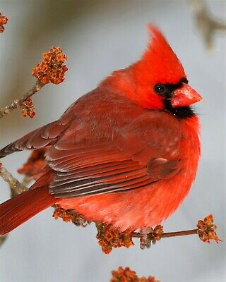Bird Red Cardinal on Tree Branch 8x10 Photo Print Beautiful Wall Decor (A678)