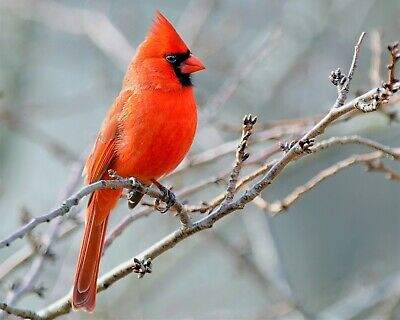 Bird Red Cardinal on Tree Branch 8x10 Photo Print Beautiful Wall Decor (A679)