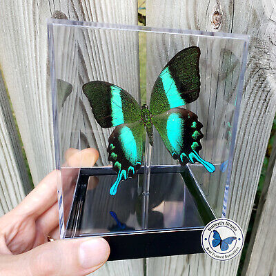 Real 3D Framed Butterfly: Majestic Green Swallowtail - Table Top