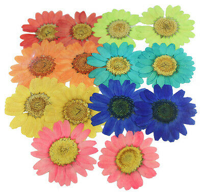 Pressed flowers daisy mixed, red green orange turquoise yellow blue pink 7 cols