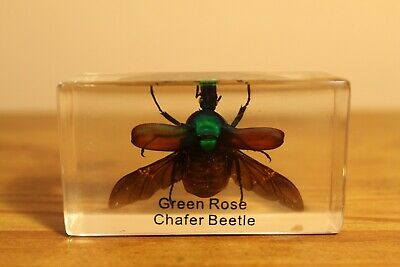 Green Rose Chafer Beetle Insect In Acrylic (Paperweight, Science)
