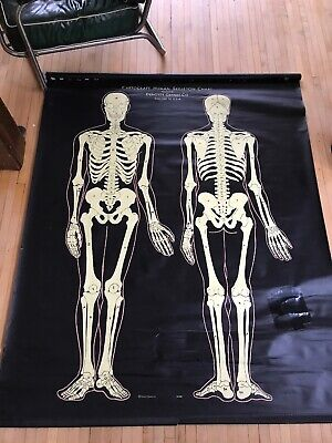Vintage Denoyer-Geppert pull down Cartocraft Human Skeleton Chart