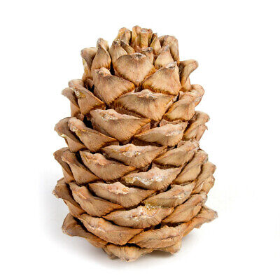 Real Siberian Pine Cone with Pine Nuts. Fresh Harvest