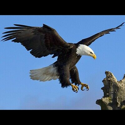 BALD EAGLE GLOSSY POSTER PICTURE PHOTO PRINT american usa bird freedom baby 3030