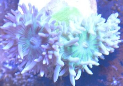 KJ/'S PINK HAIRY MUSHROOM SMALL CORAL ZOANTHID ZOAS ZOA LPS KJ/'S CORALS