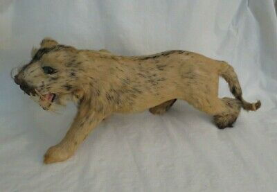 "Vintage Miniature Real Fur Taxidermy White Tiger Lion Statue  (16"")"