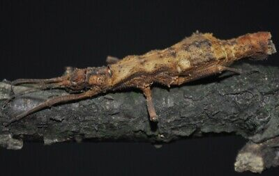Dares philippinensis Stick Insect 20+ eggs