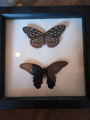 "Butterfly //moth medal coin DEEP DISPLAY FRAME 10/"" x 10/"" x 1.75/"" insect"