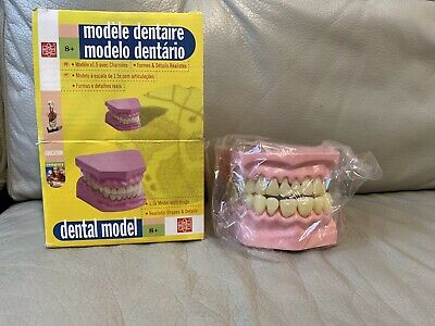 Pro Dental Teaching Study Adult Standard Typodont Demonstration Teeth Model
