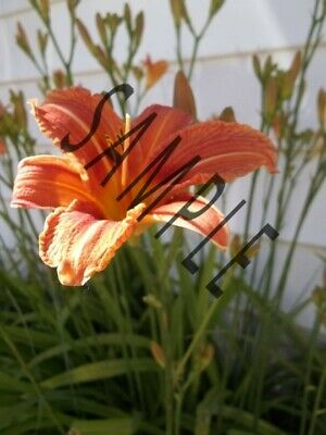 Digital Photo Picture Image Tiger Lily Flower Bloom