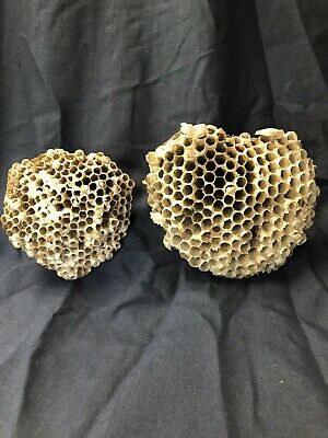 2 Real Natural Abandoned Paper Wasp Nests Art Crafts Taxidermy Science