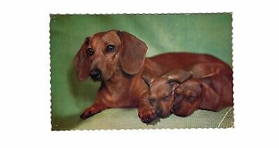 Dachshund and Puppies 1960s