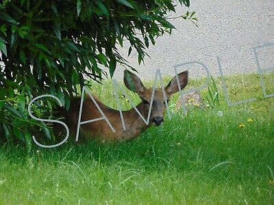 Amazing detail HD Digital Photo White Tail Deer fawn baby grass