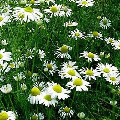 """/""""Zloty Lan/""""+4/""""FREE PLANT LABEL BUY 2 GET 1 FREE 3000 seeds Chamomile off"""