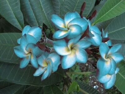 """ROOTED 8-12 INCHE WITH FREE PHYTO /"""" SIAM RED /"""" FRAGRANT PLUMERIA CUTTING"""